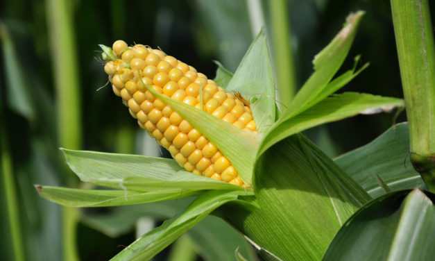 Importance and Utilization of Maize